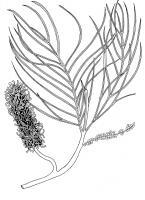 Fern-Leafed Grevillea - Grevillea Pteridifolia - Pen And Ink Drawings - By William Ivinson, Black And White Line Art Drawing Artist
