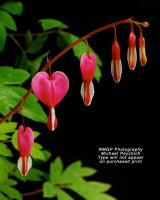 Nature - Bleeding Hearts - Photography