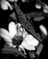 Amys Cusotm Black And White Ph - Butterfly View - Digital