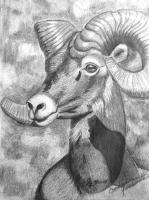 Pencil Work - Bighorn Study - Pencil