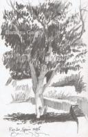 Landscape - Tree Ronda Spain - Pencil Drawing
