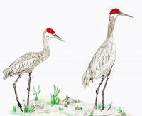Birds - Sandhill Crane Couple - Colored Pencil
