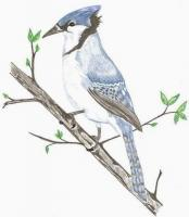 Birds - Blue Jay - Colored Pencil
