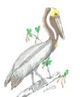 Birds - Brown Pelican - Colored Pencil