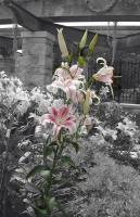 Lilies - Photography -- Digitally Edite Digital - By Alexis Hejna, Select Color Digital Artist