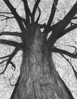 Tall Tree - Charcoal Drawings - By Cathy Jourdan, Realism Drawing Artist