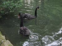 Black Swans - Digital Photography - By Irina Belinschi, Nature Photography Artist