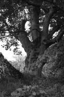 Private - Sturdy Old Tree - Photography