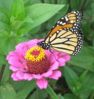 Monarch 2 - Digital Photography - By Bradford Beauchamp, Nature Photography Artist