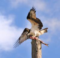 Osprey And Mullet - Digital Photography - By Shane Metler, Nature Photography Artist