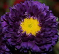 Purple Flower - Digital Photography - By Danielle Turner, Nature Photography Artist