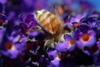 Photographs - Bee In The Butterfly Bush - Photograph