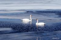Swans On Ice - Enhanced Digital Photography - By Lois Lepisto, Flora And Fauna Photography Artist