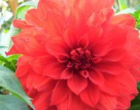 Flowers From Italy - Dahlias - Cannon Xti