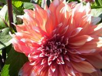 Flowers From Italy - Peach Dahlia - Cannon Xti